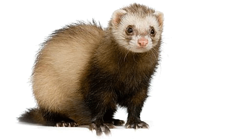 ferret png images ferret clipart black and white black footed ferret clipart
