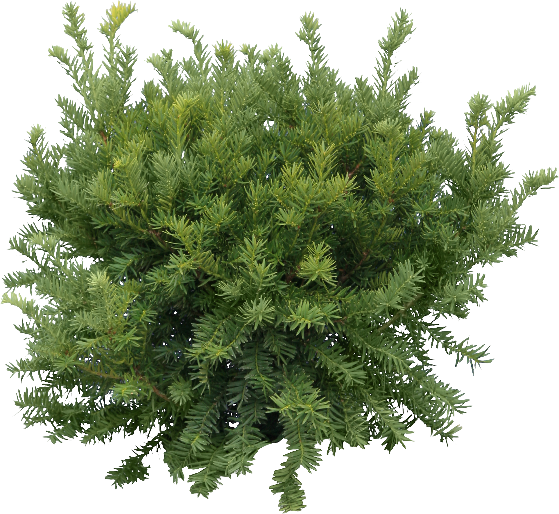 Fir Tree Png Images Free Download Picture