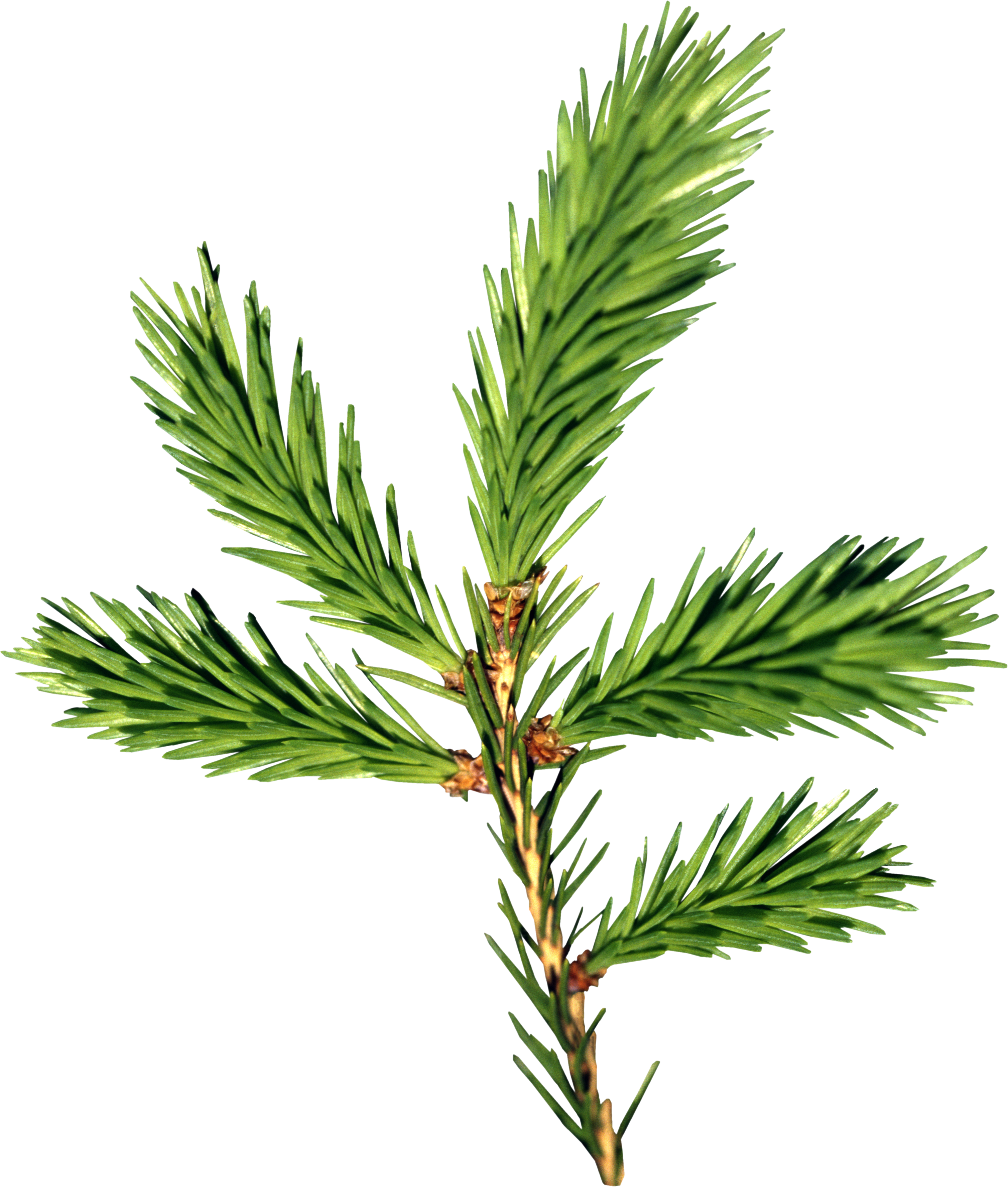 Fir-tree PNG images