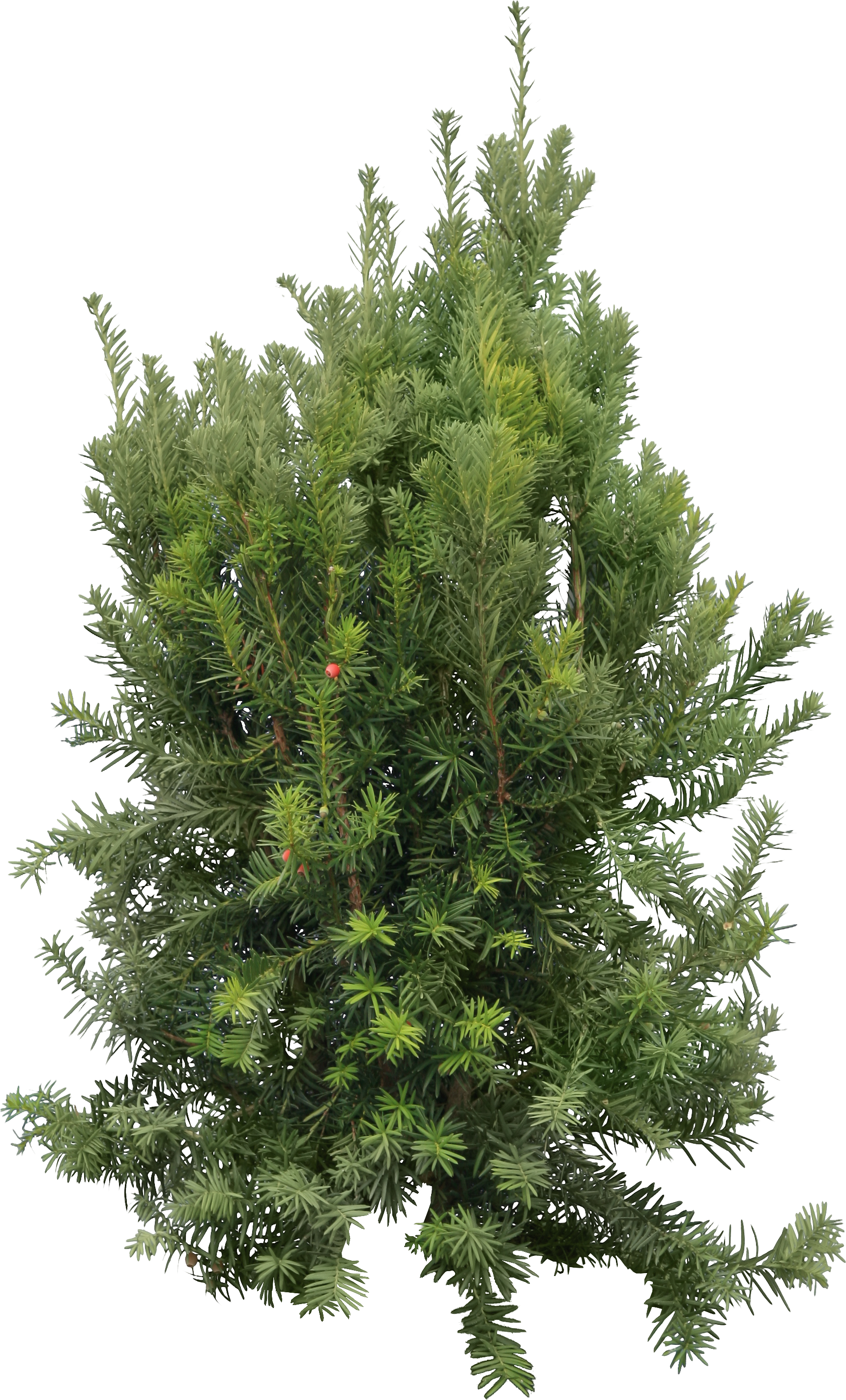 firtree png images free download picture