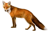 fox png image, free download picture