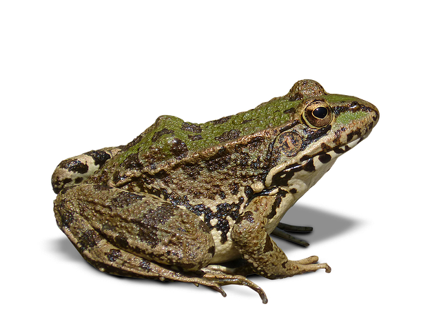 Frog PNG