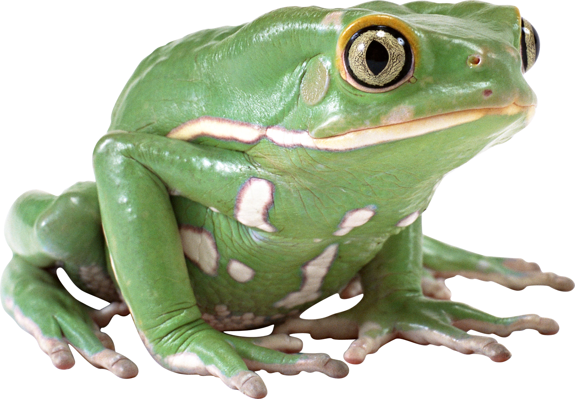 green frog PNG image