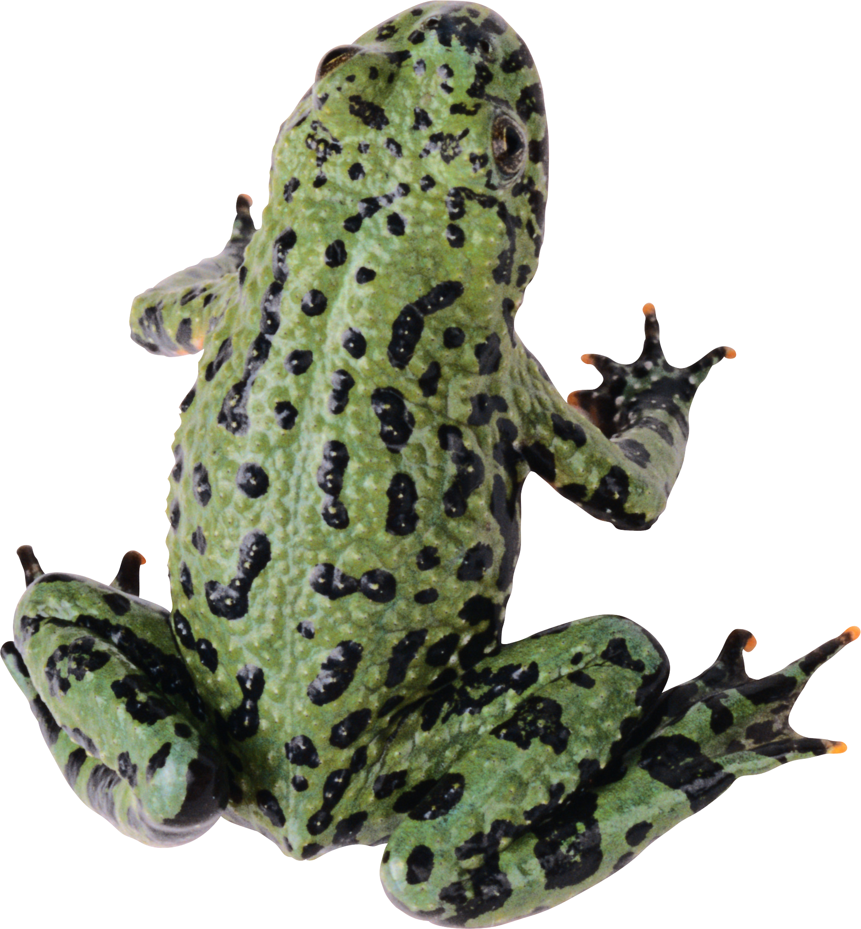 frog PNG image