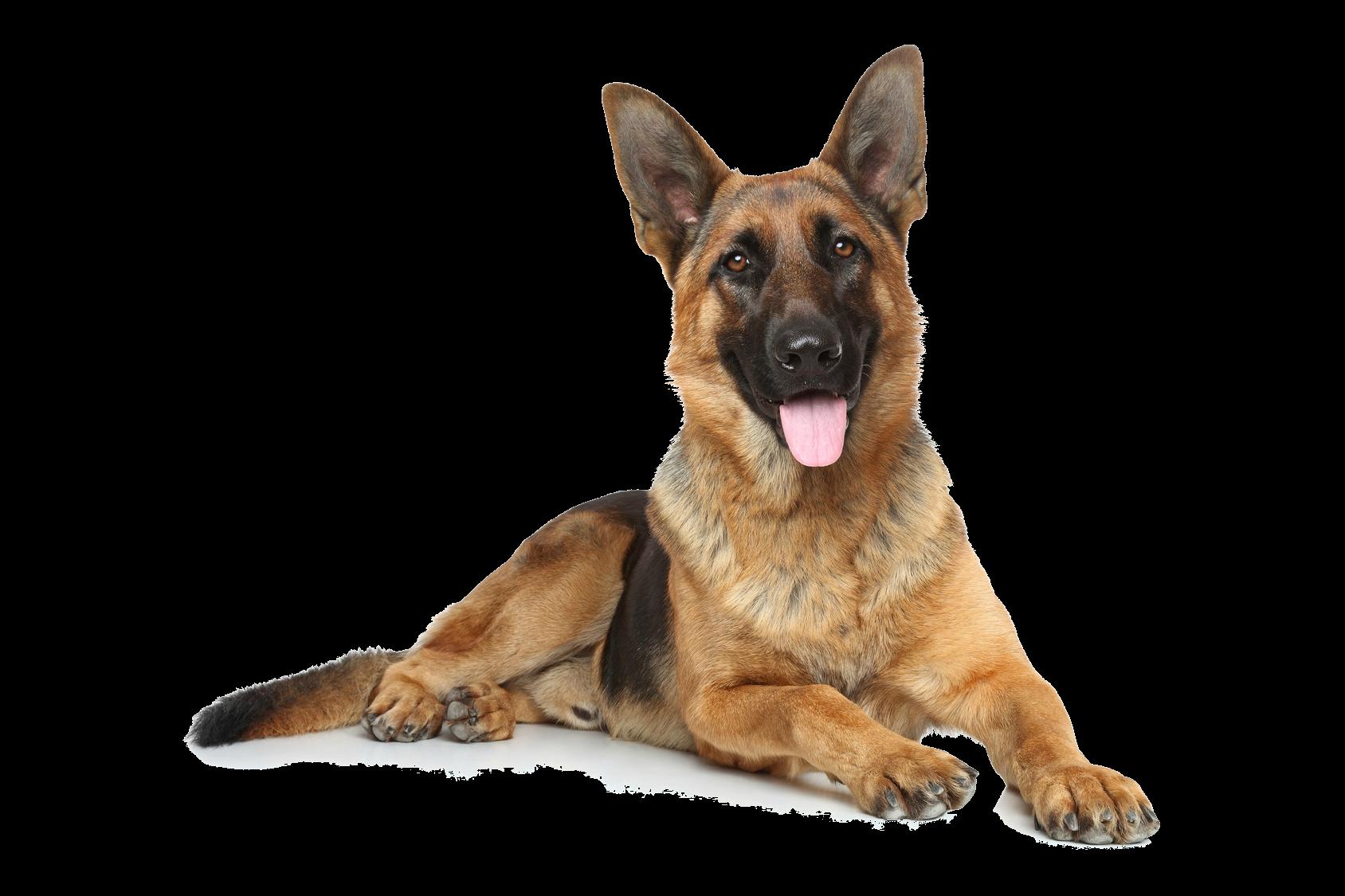 german shepherd dog popularity
