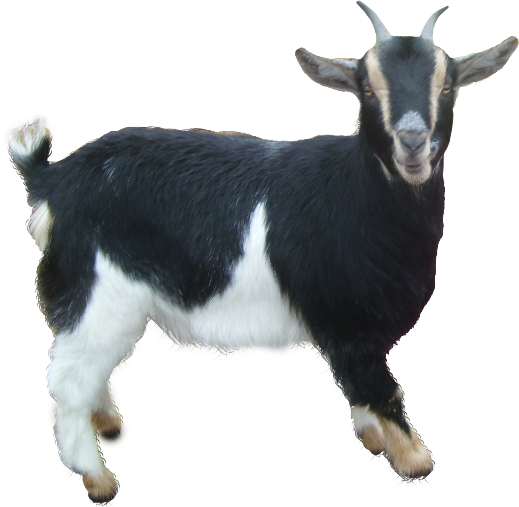 goat png images free download  goat png clipart coats clipart gate