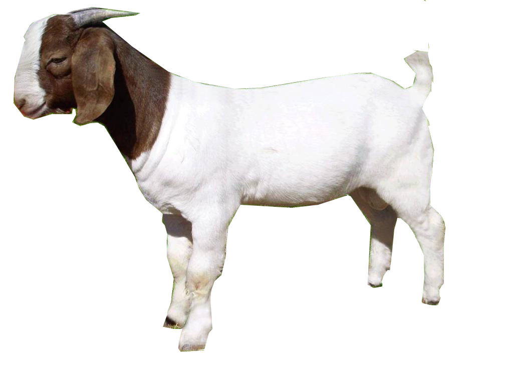 goat png images free download  goat png clipart goat face clipart goat face