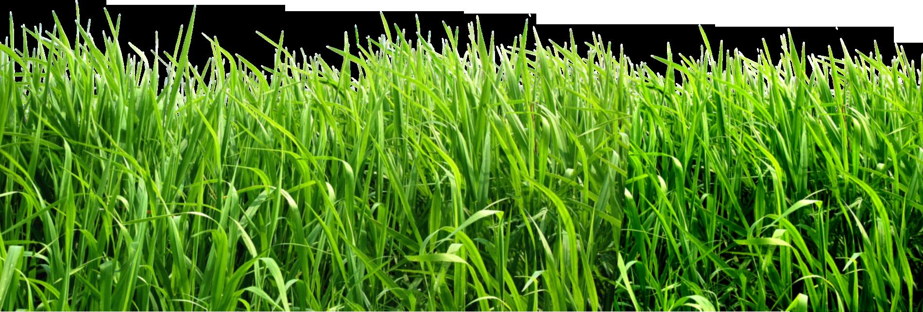 grass transparent background. Grass Png Image, Green PNG Picture Transparent Background