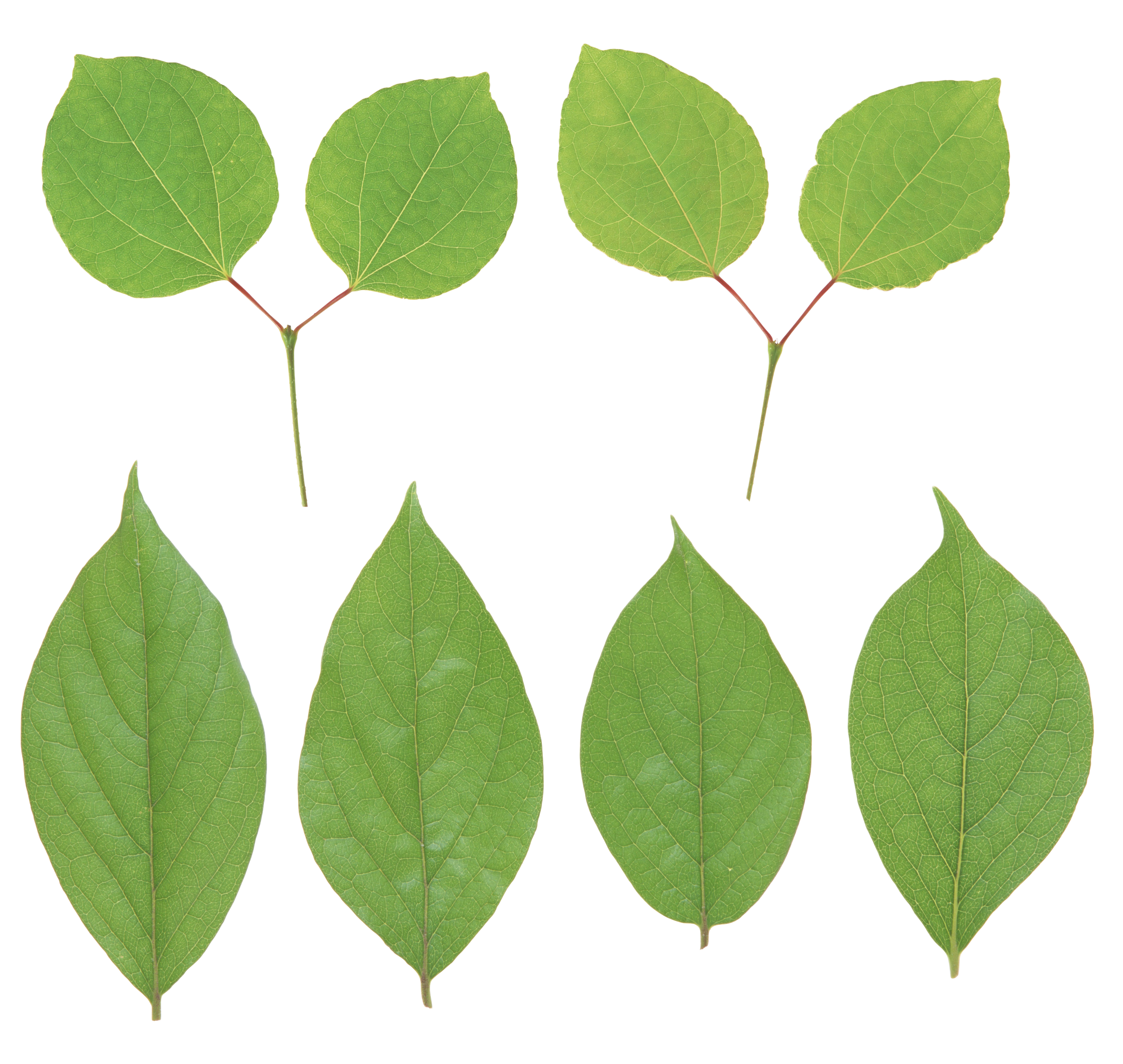 Green leaves PNG image free Download