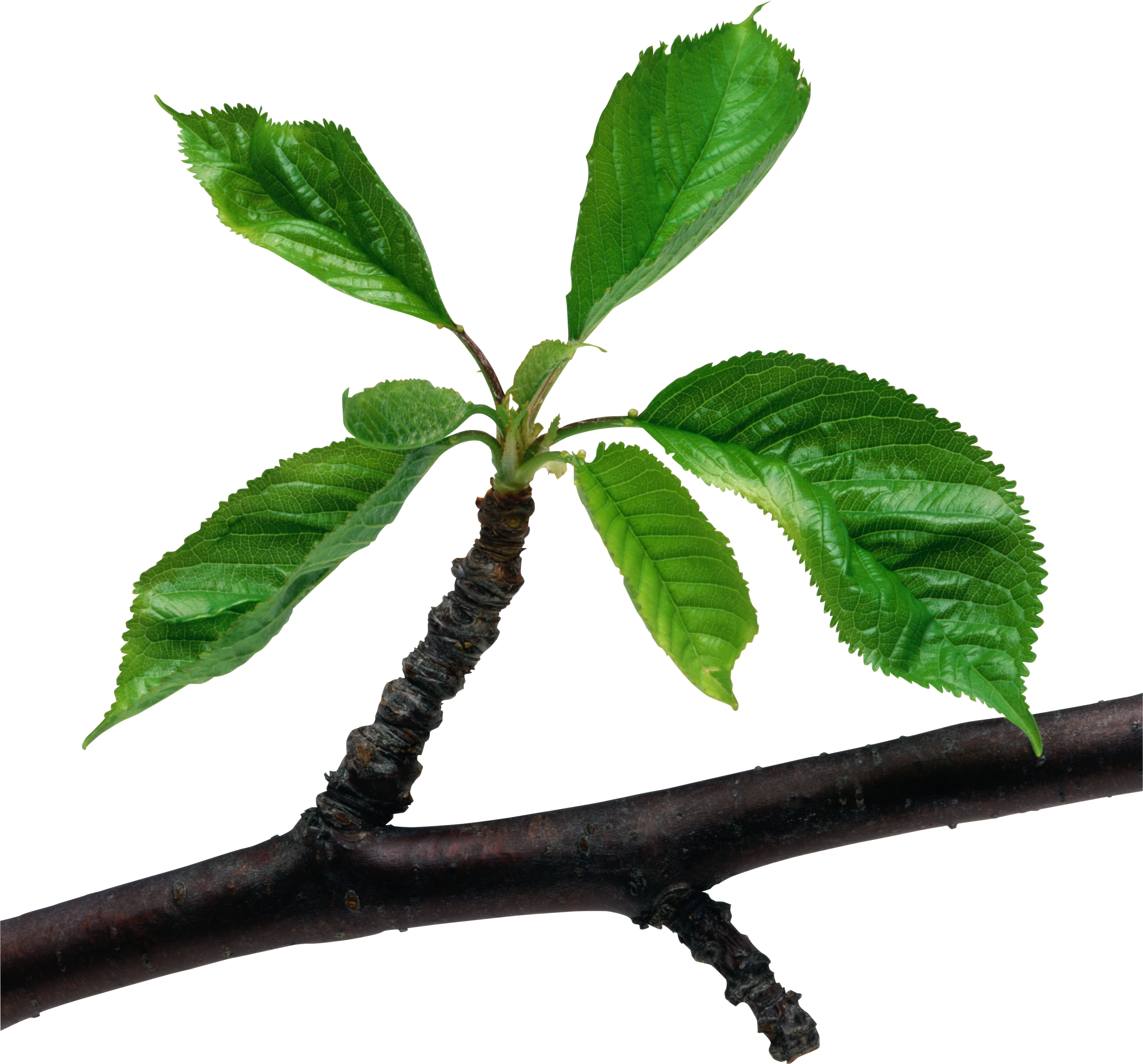 Green leaves branch PNG
