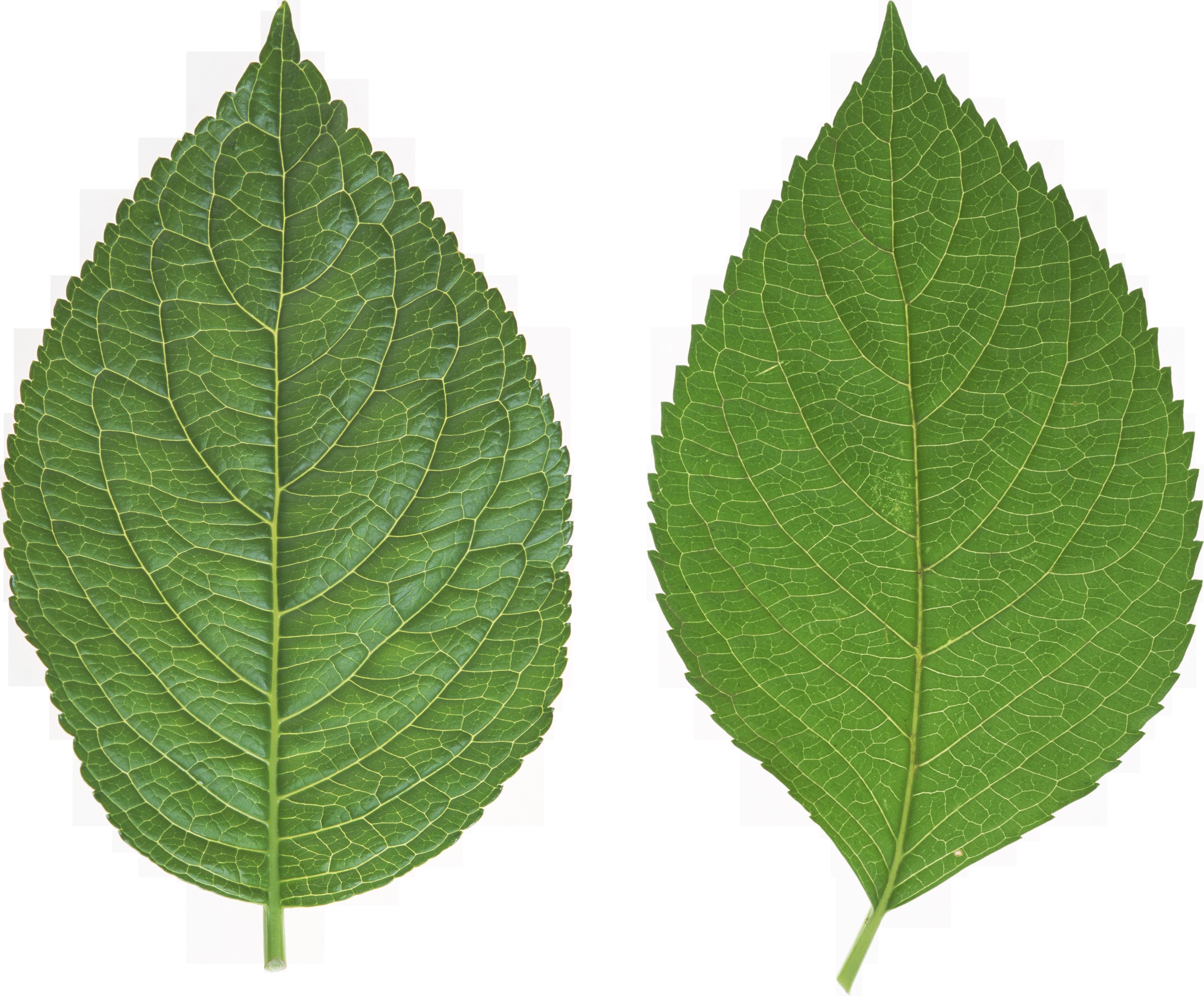 Green Leaf PNG