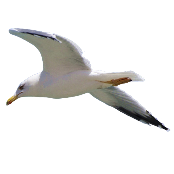 gull png images free download seagull clipart photos seagull clipart question mark