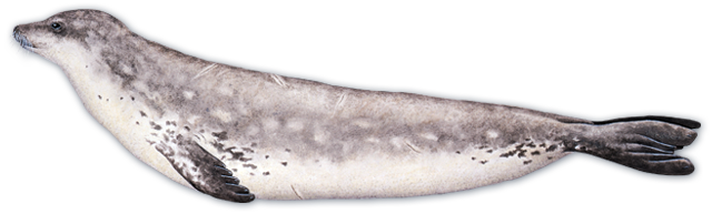 Harbor seal PNG