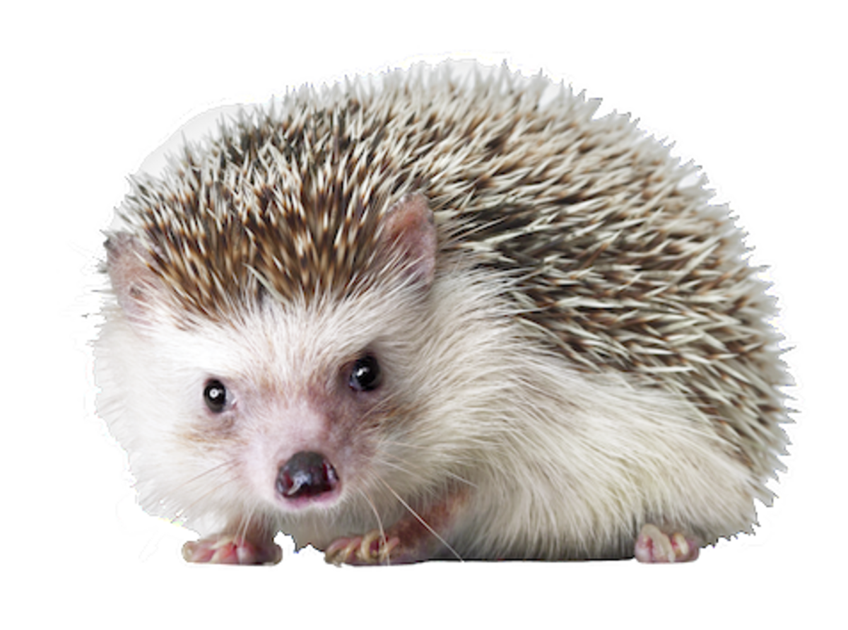 Hedgehog PNG