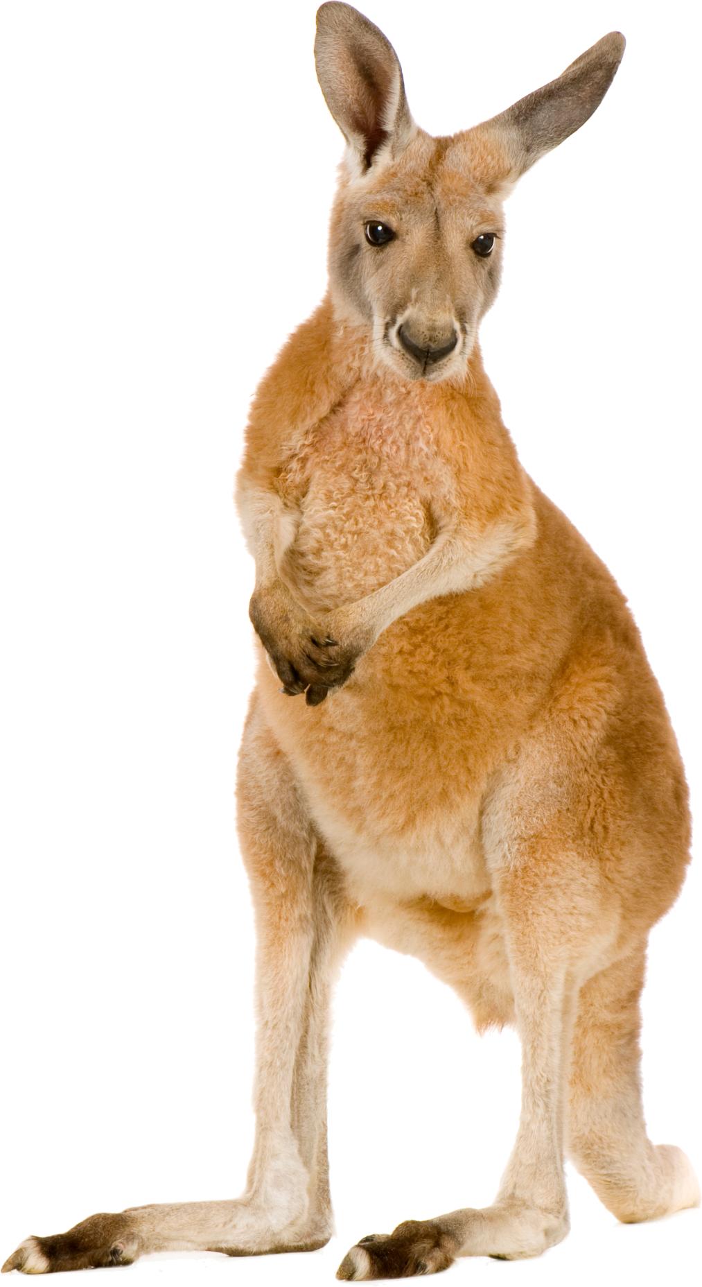 Kangaroo PNG images free download