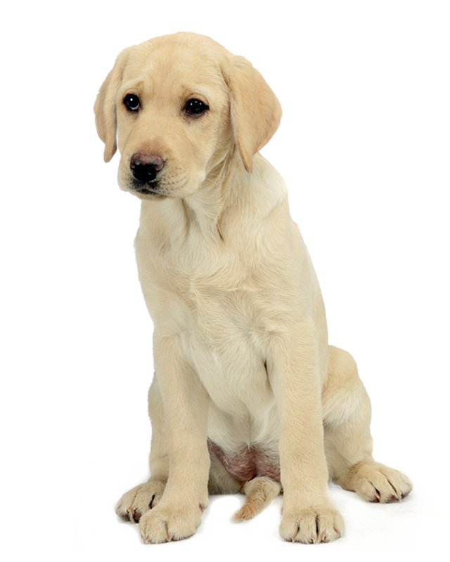 Labrador Retriever PNG
