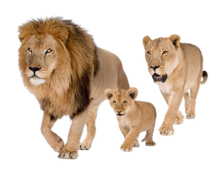 Lions PNG