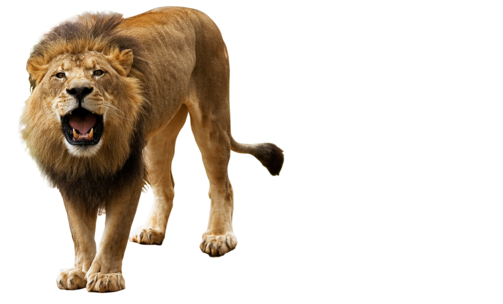 Lion PNG images, free download, lions