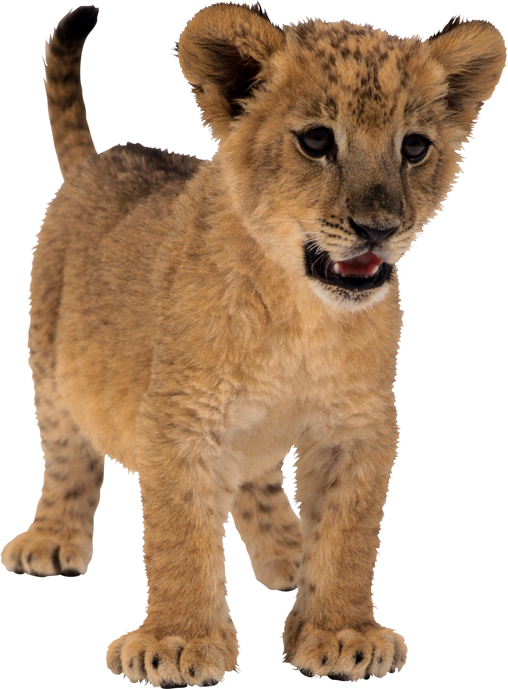 small lion PNG image
