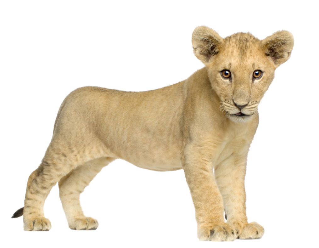 Lion PNG image, free image download, picture, lions