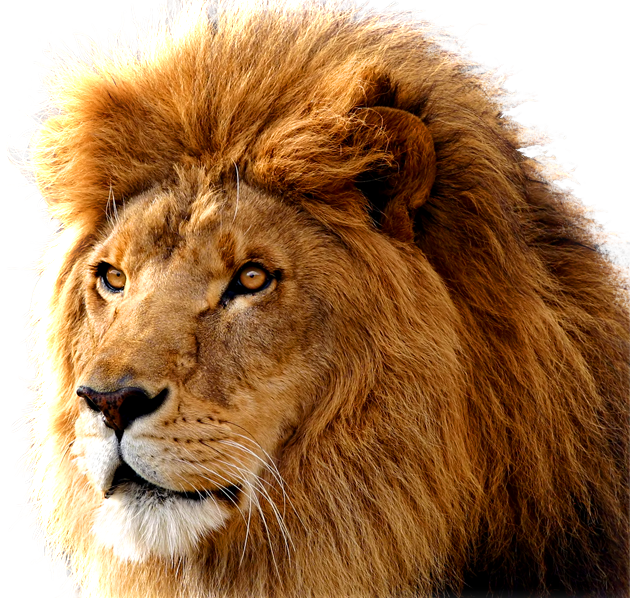 Lion PNG images, free ...