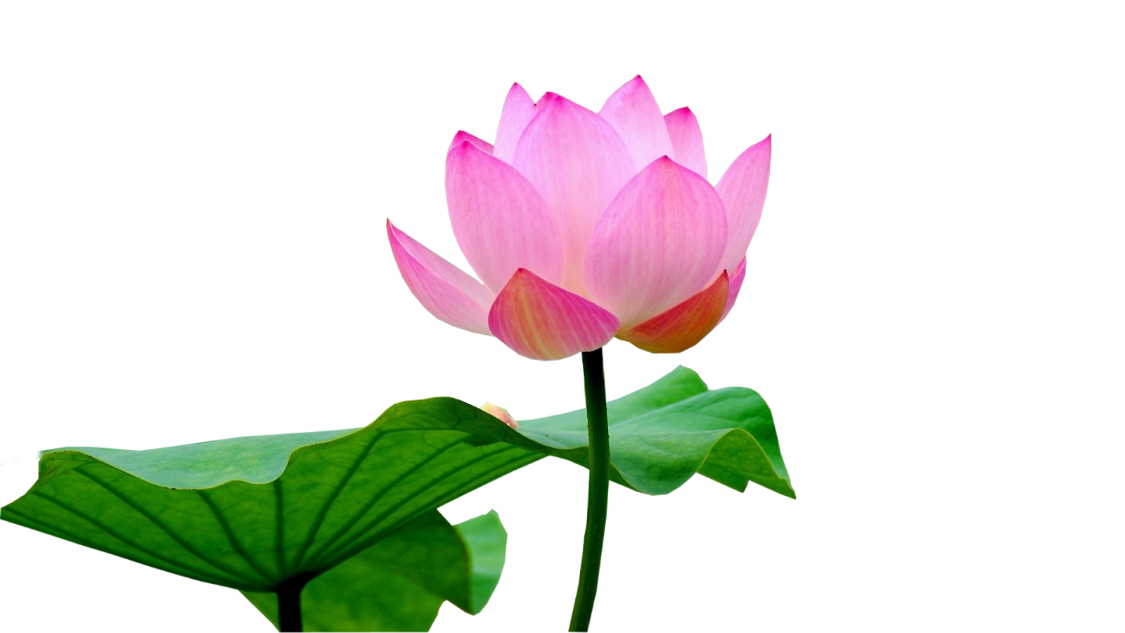 Lotus Flower Png Images Free Download