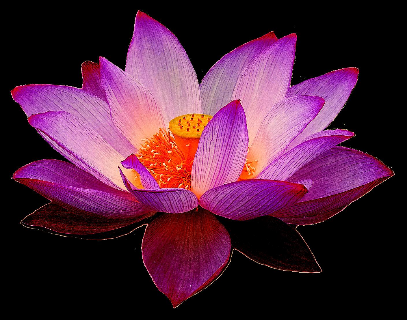 Lotus PNG images