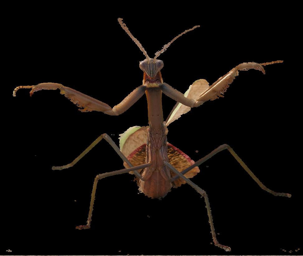 Mantis PNG images Download