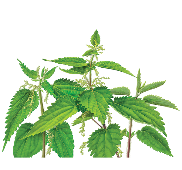 Nettle PNG image free Download
