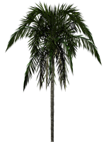 Palm tree PNG