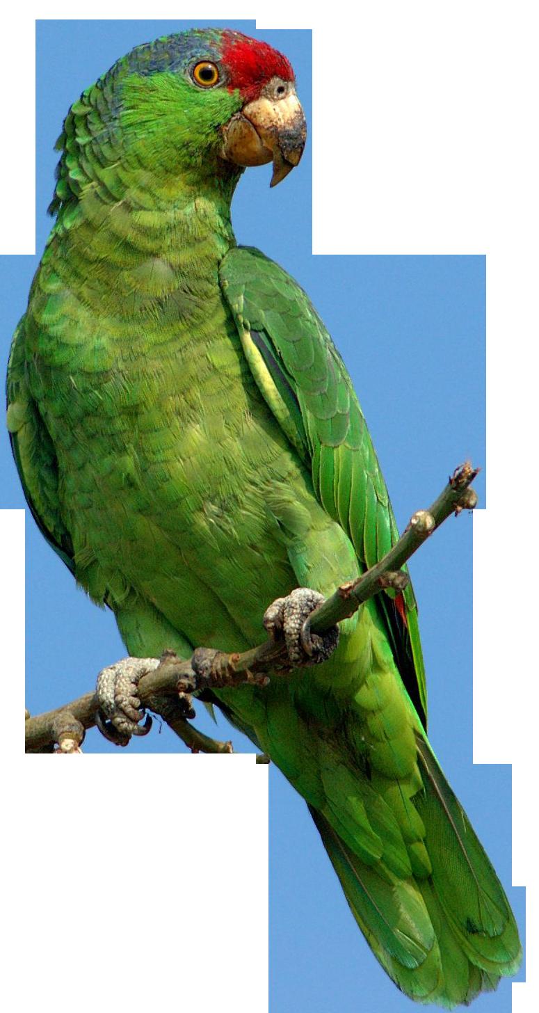 parrot png images  free pictures download parrot clip art png parrot clip art to color