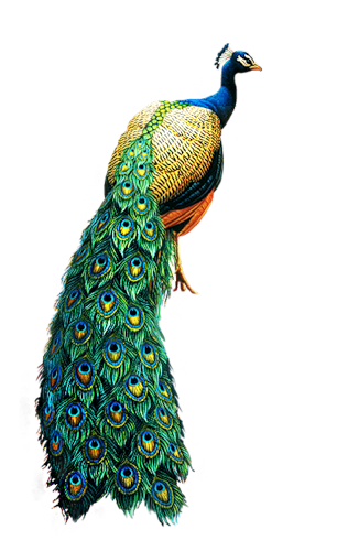 Peacock PNG
