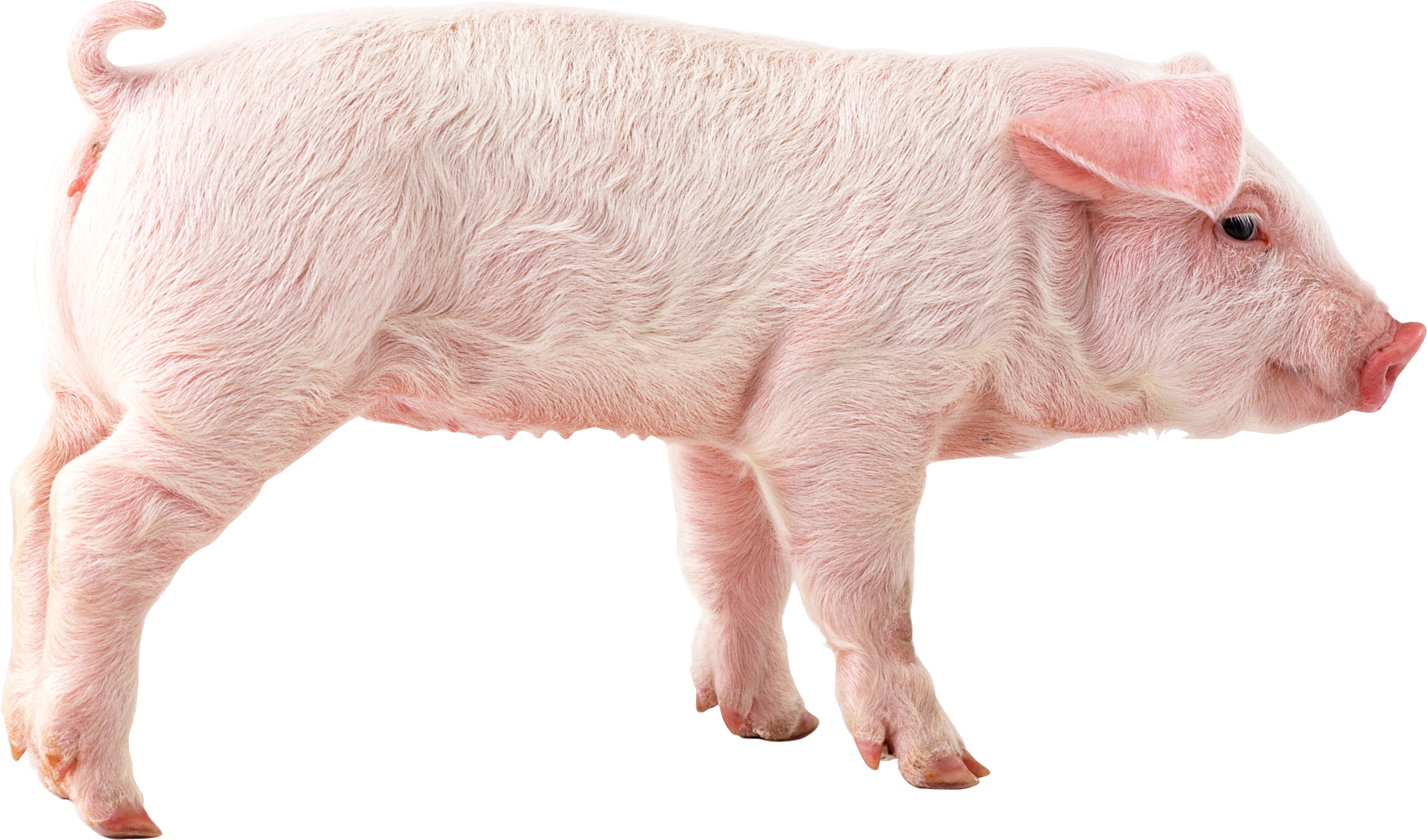 Image Result For Free Pig Printable
