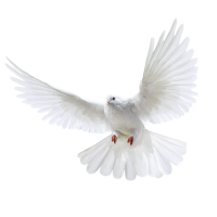White flying pigeon PNG image