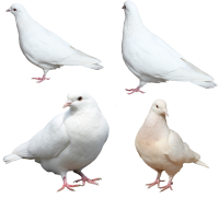 White pigeons PNG image