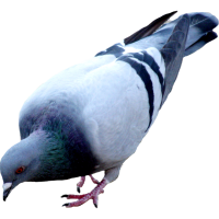 Pigeon PNG