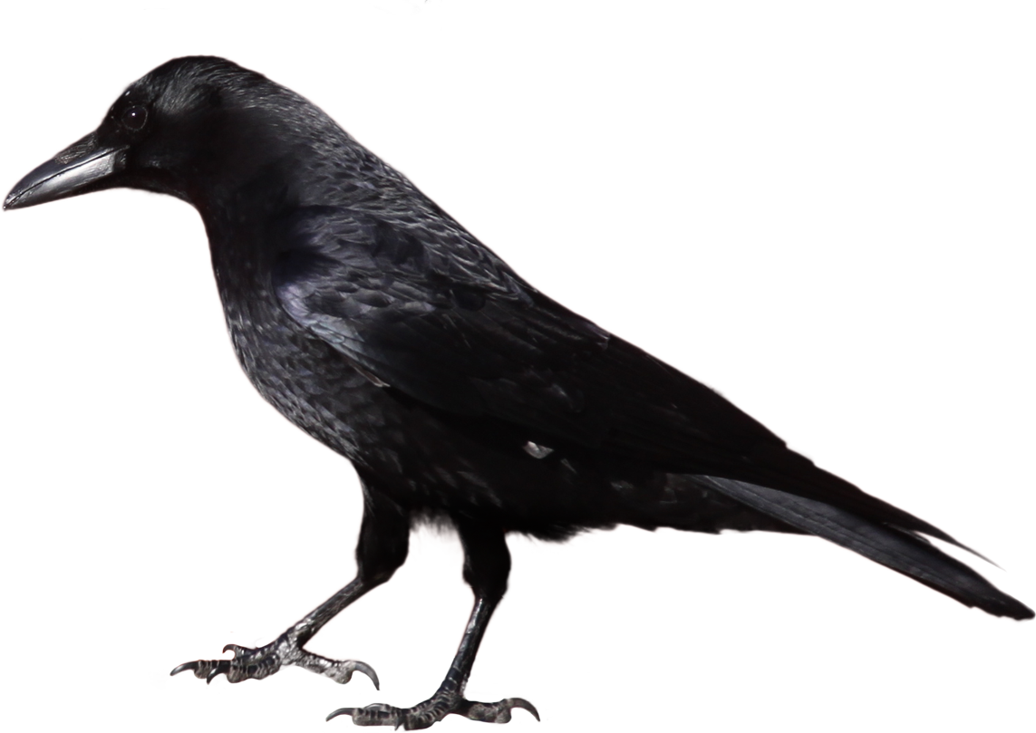 Raven PNG