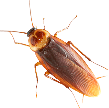 Roach PNG