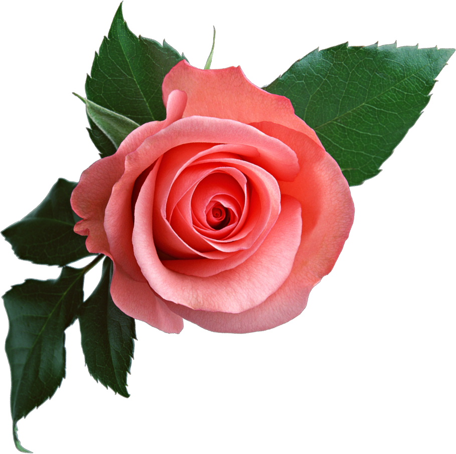 Rose png flower images free download pink rose png image free picture download izmirmasajfo
