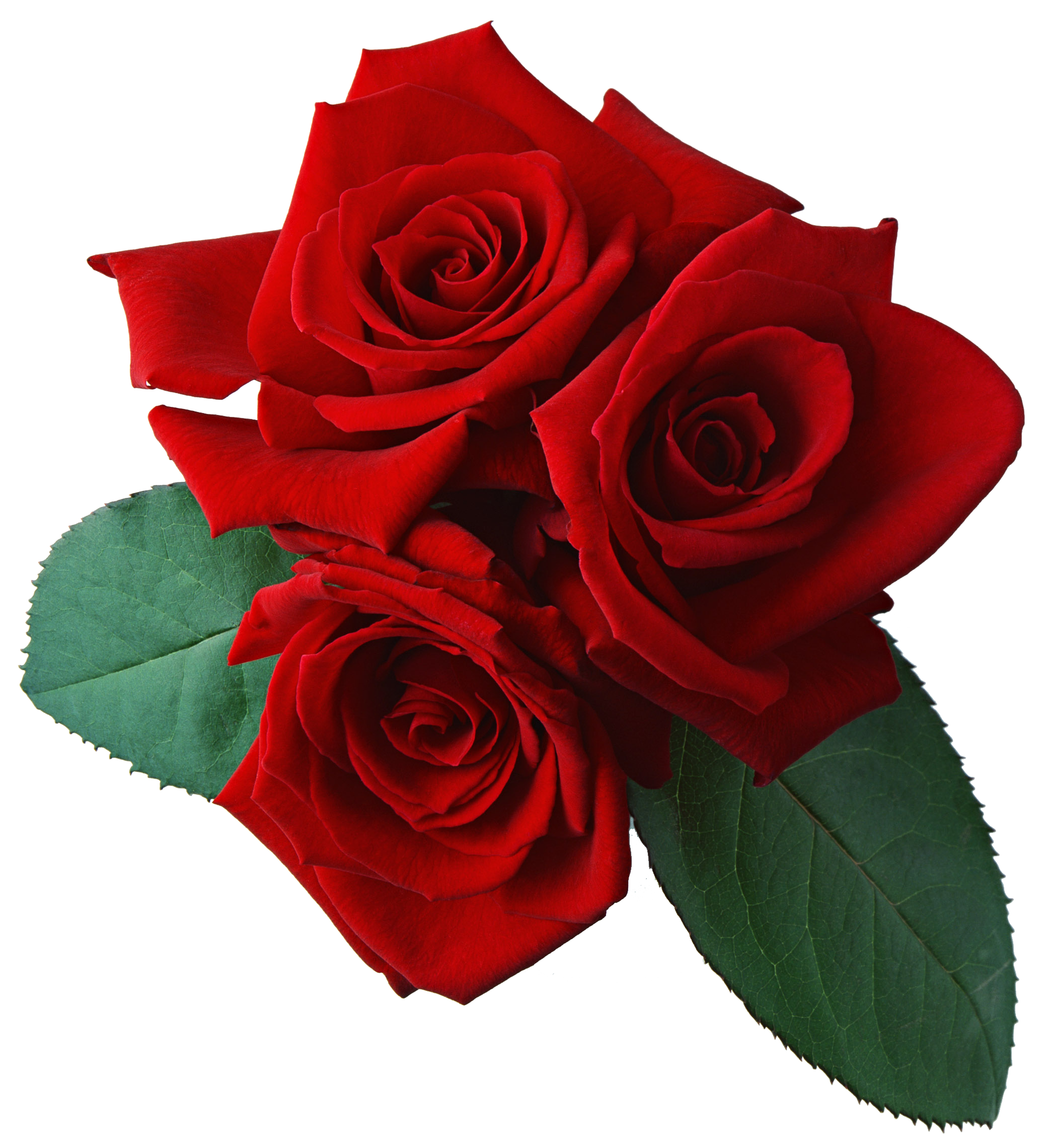 Rose png image, free picture download