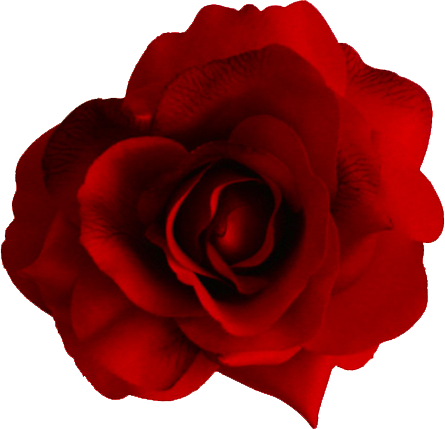 Red rose png image, free picture download