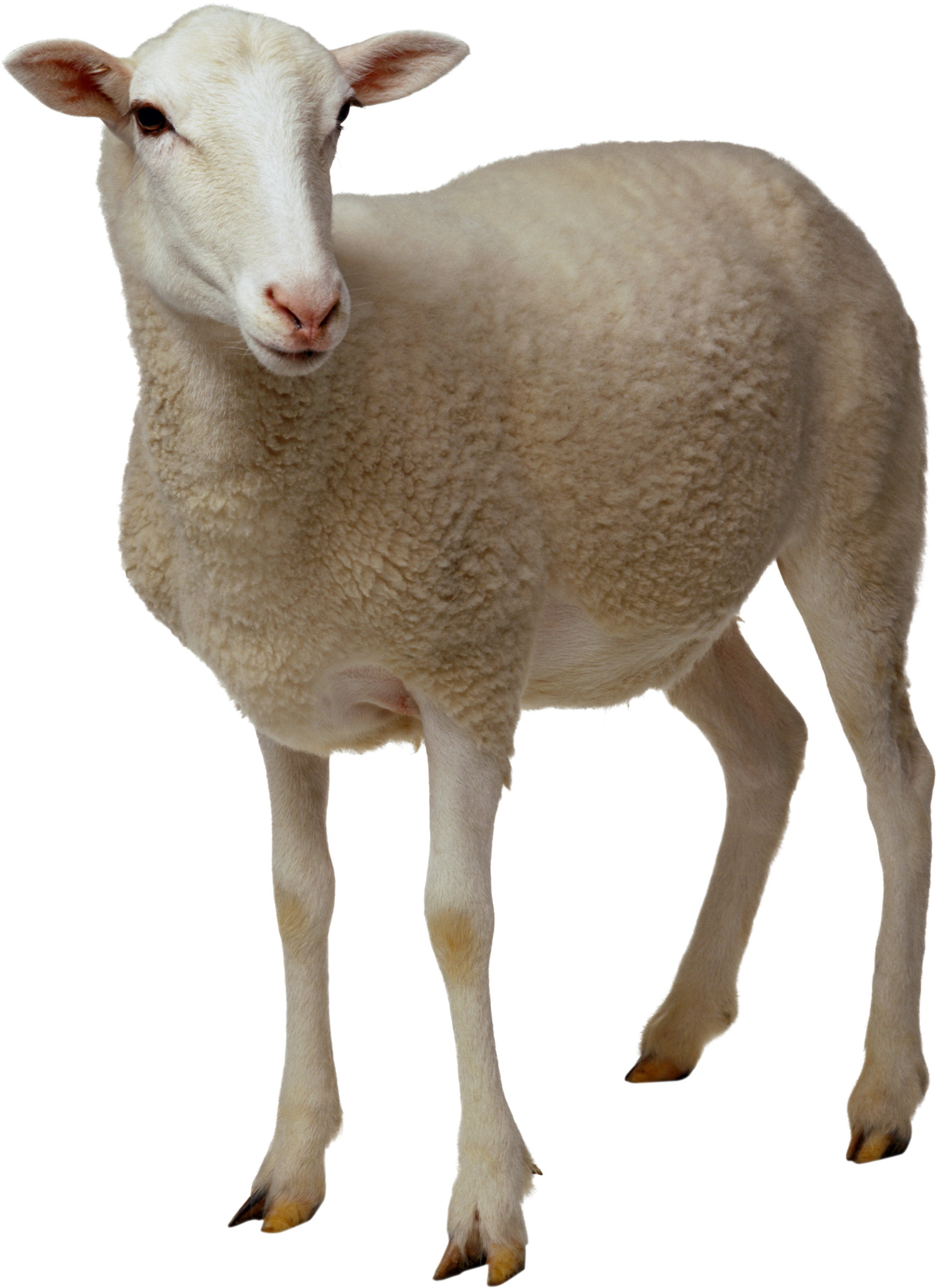 sheep png image  free download horse head vector free download horse head vector free