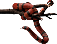 Red snake PNG image picture download free