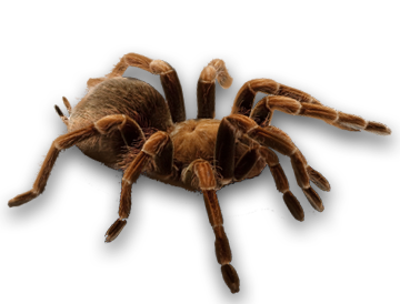 Image result for tarantula. png