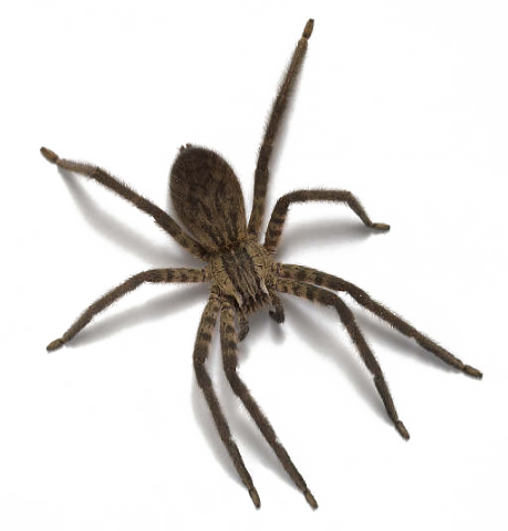 Spider png images free download spider png photo pictures for Araigne sauteuse maison