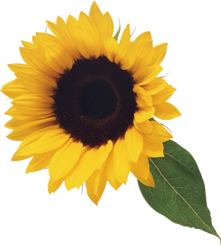 Sunflower PNG images