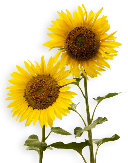 Sunflowers PNG