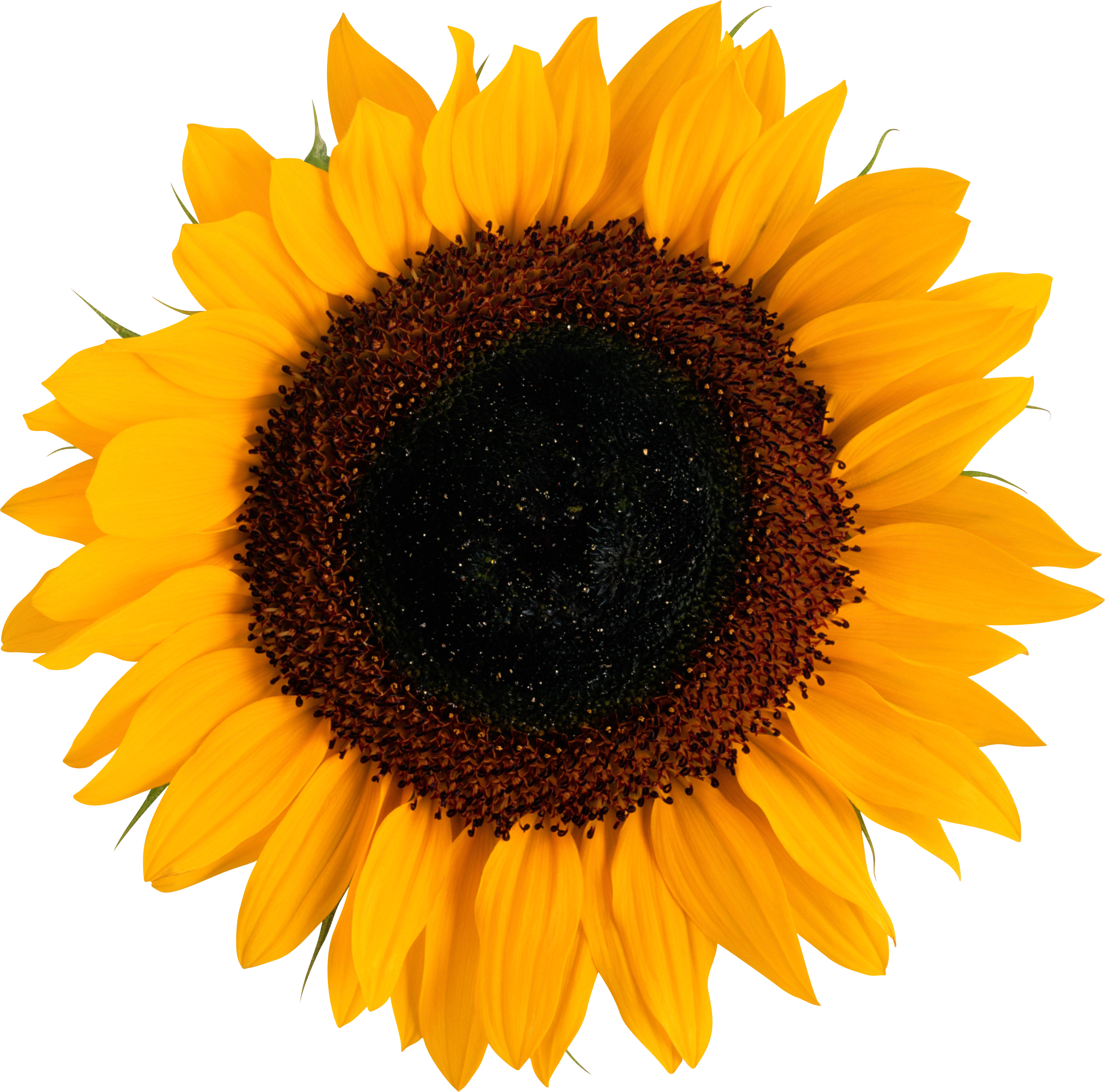 Sunflower PNG images free download