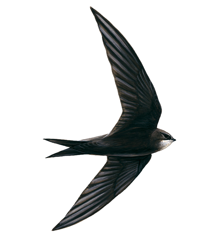 Swallow PNG