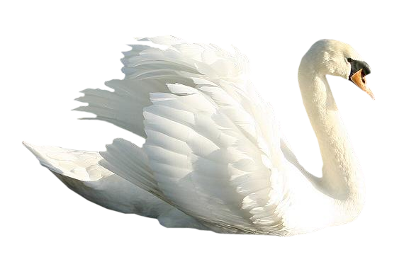 White swan PNG